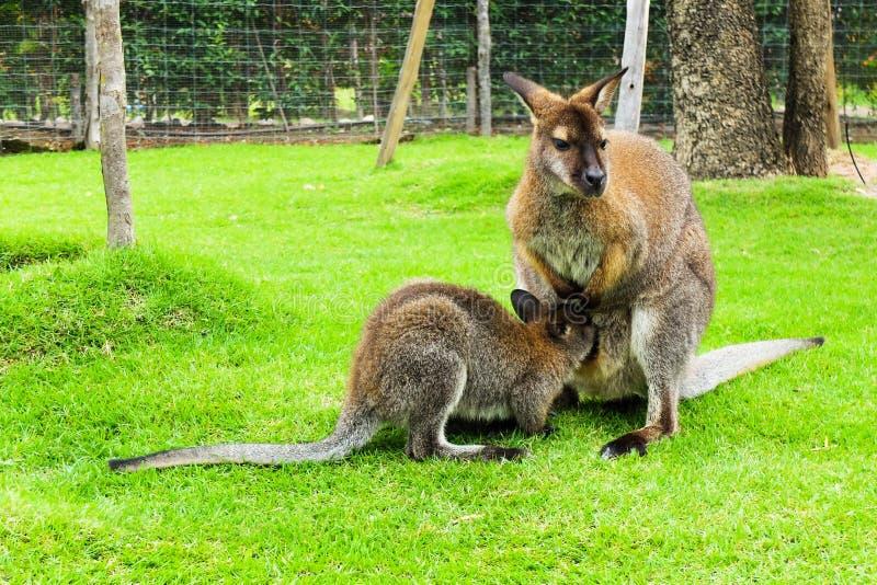 Kangoeroe in Thailand royalty-vrije stock afbeeldingen