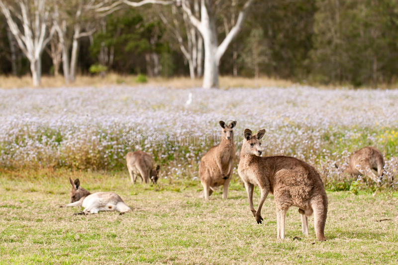 kangoeroes royalty-vrije stock foto