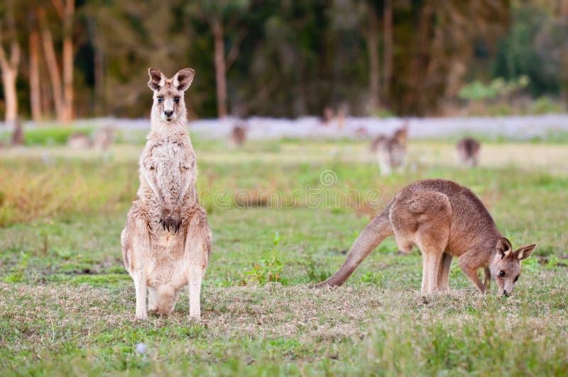kangoeroes royalty-vrije stock afbeelding