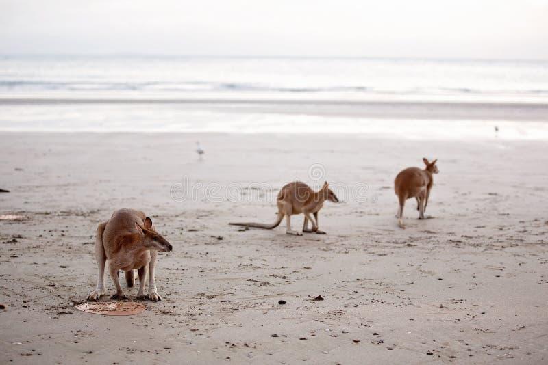 Kangoeroes die op het Strand voeden royalty-vrije stock afbeelding