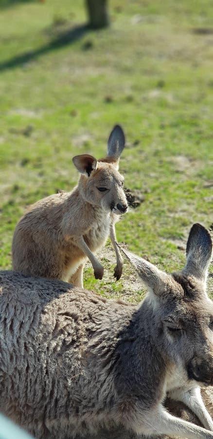 Kangoo стоковая фотография rf