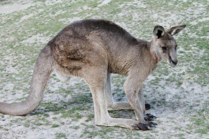 Kangoo nello zoo di Copenhaghen fotografia stock libera da diritti