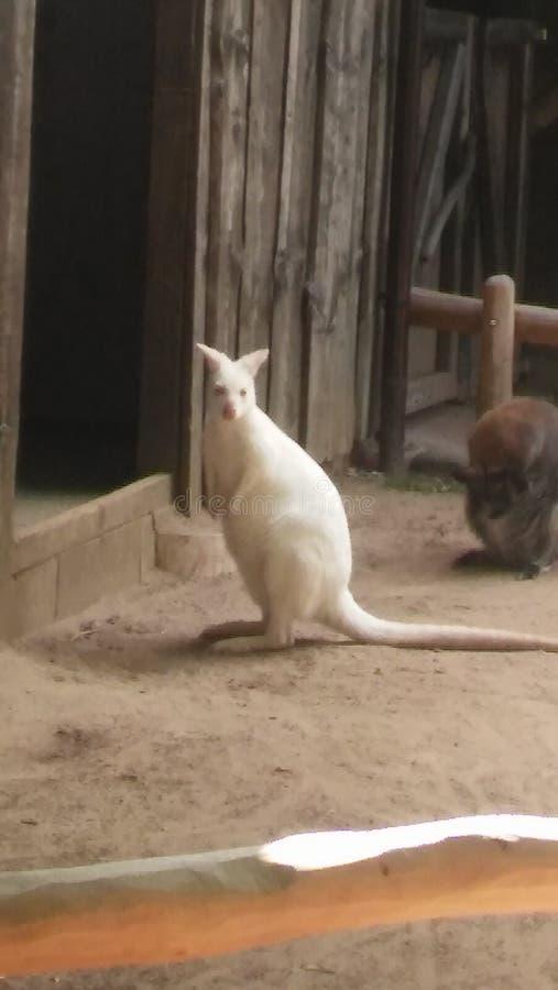 Kangoroo blanco fotos de archivo libres de regalías