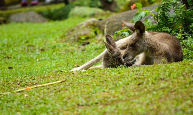 Kangoroo ed il bambino che si trova sul medow immagini stock