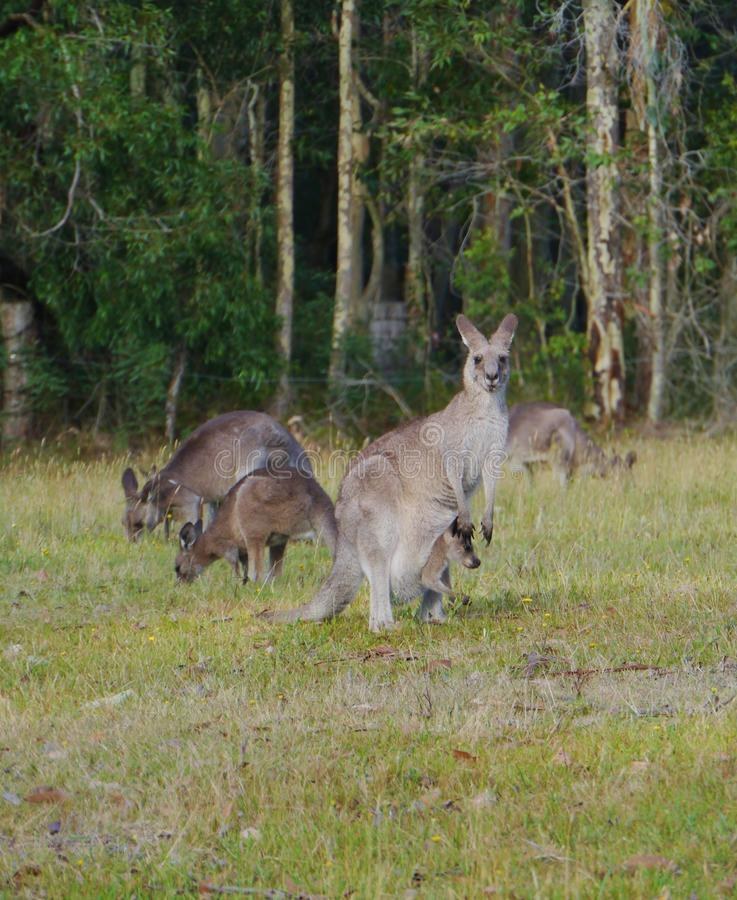 Kangoroo with a joey in the pouch stock image