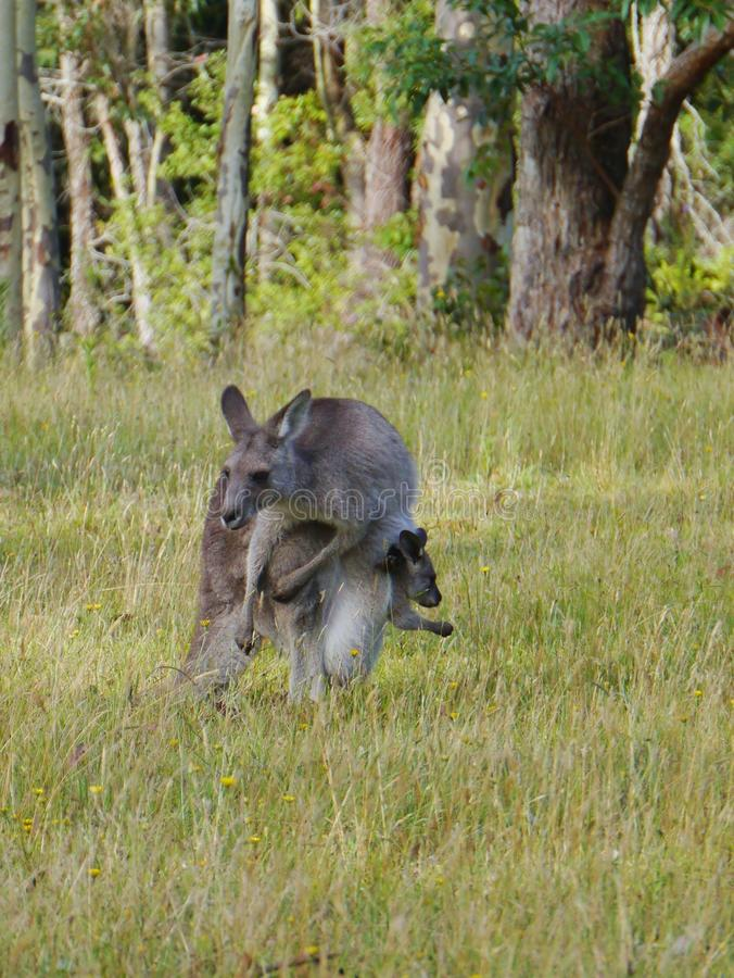 Kangoroo met een joey in de zak stock afbeelding