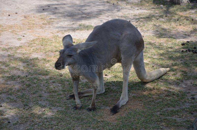 Kangourou photographie stock libre de droits