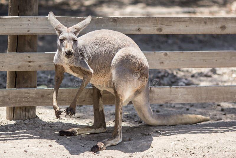 Kangourou australien photo stock