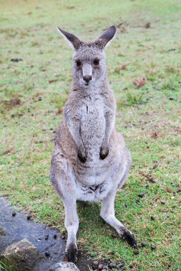 Kangourou australien image libre de droits