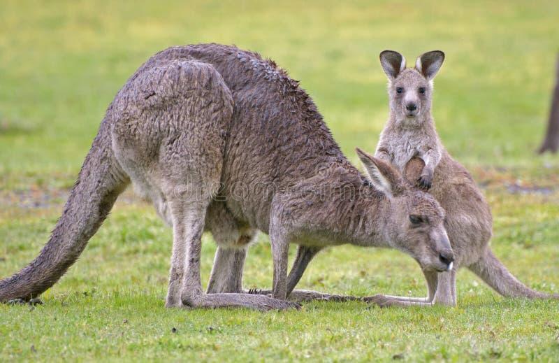 Kangourou avec le joey images libres de droits