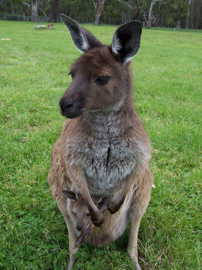 Kangourou avec le joey image libre de droits