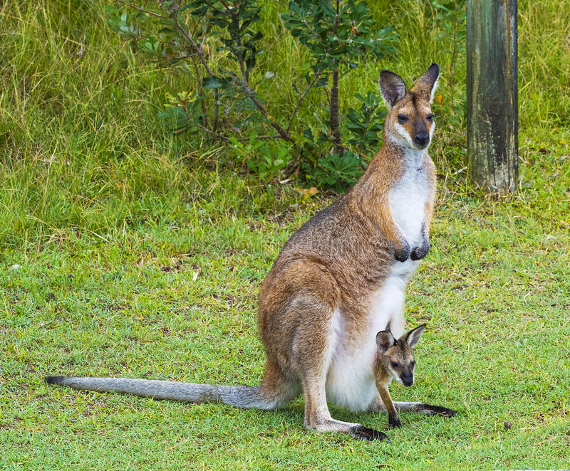 Kangourou avec le joey photographie stock libre de droits