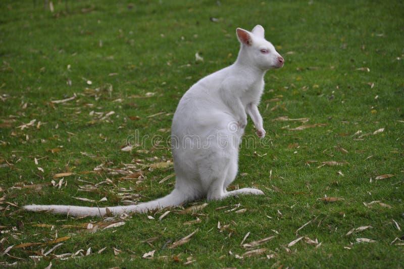 Kangourou blanc photos stock
