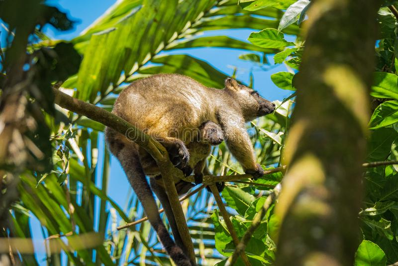 Kangourou d'arbre de Bennetts avec le bébé images stock