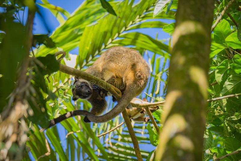Kangourou d'arbre de Bennetts photographie stock