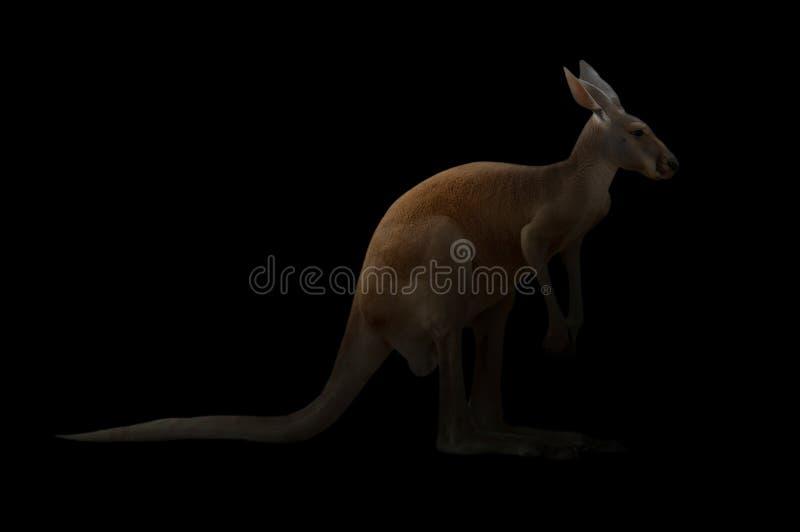 Download Kangourou dans l'obscurité photo stock. Image du joey - 76082272