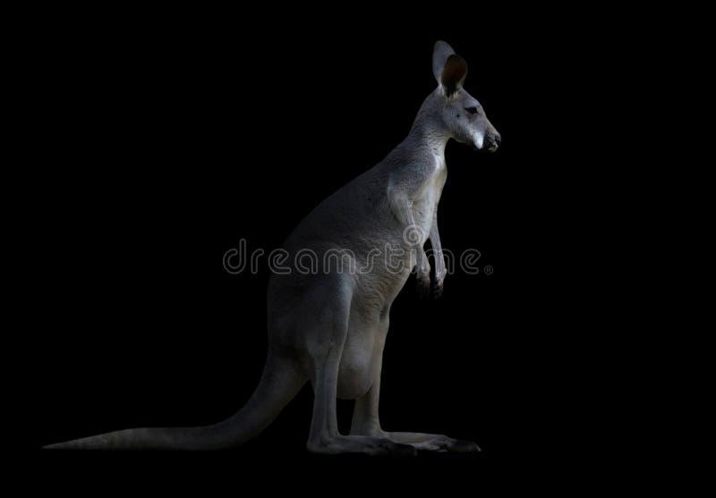 Download Kangourou dans l'obscurité image stock. Image du marsupial - 76082321