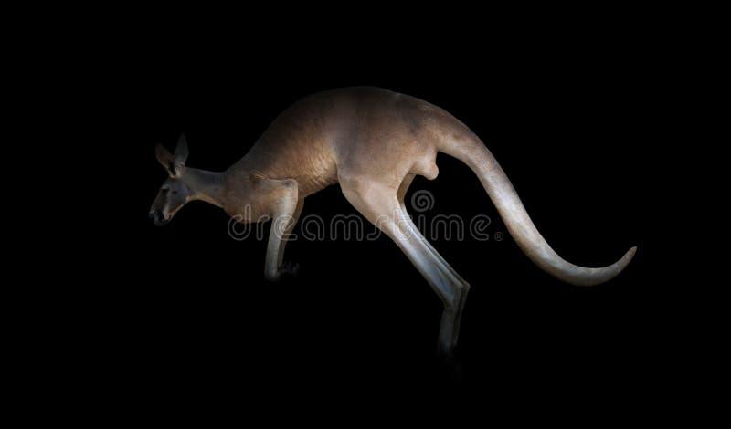 Download Kangourou dans l'obscurité image stock. Image du kangourou - 76082351
