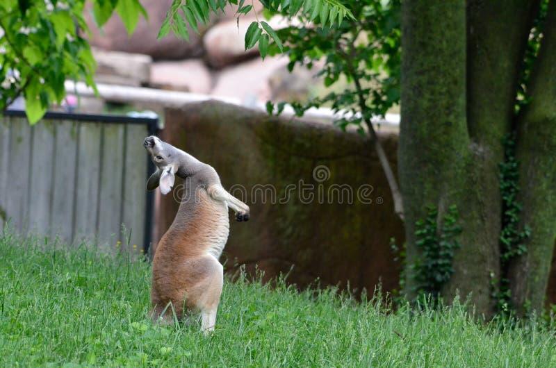 Kangourou de équilibrage photographie stock