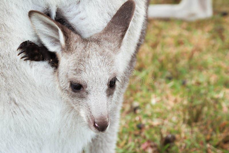 Kangourou de bébé photos stock
