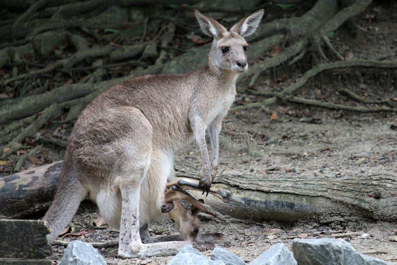 Kangourou de mère avec le joey dans la poche images libres de droits