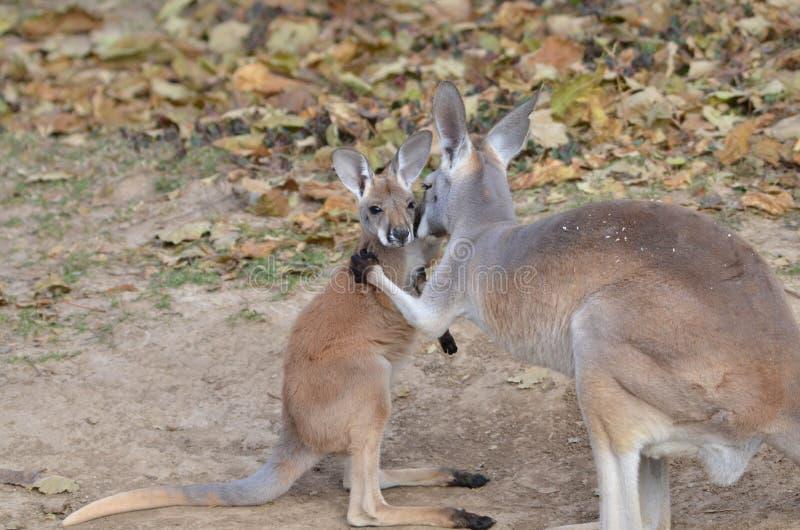 Kangourou 3 de mère et de bébé images libres de droits