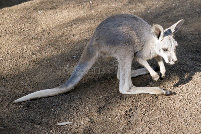 Kangourou de rouge de Joey images libres de droits