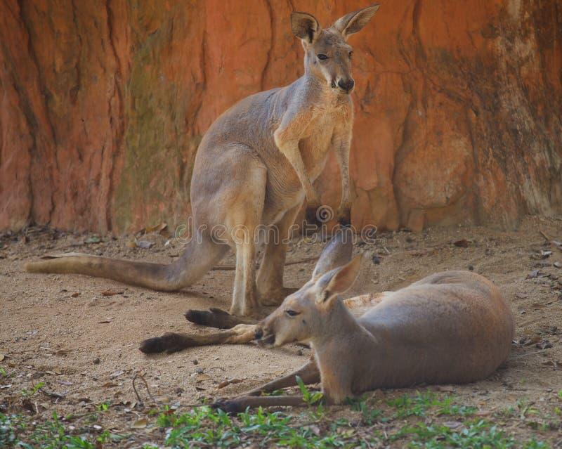 Kangourou deux géant rouge se reposant à la nuance images libres de droits