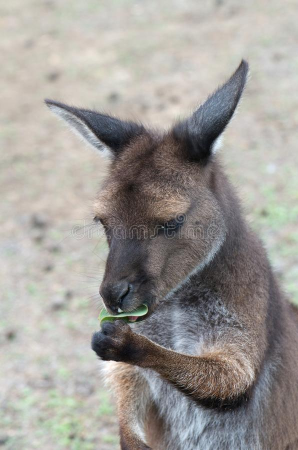 Kangourou doux images stock