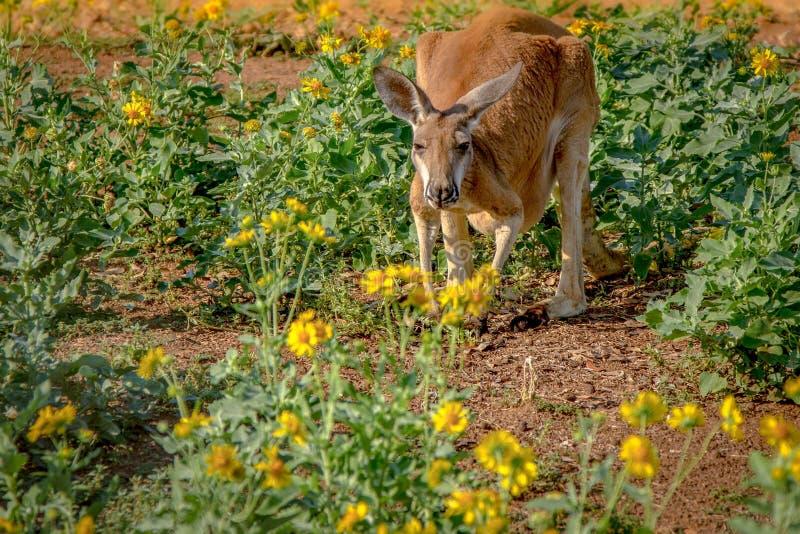 Fleurs Kangourou