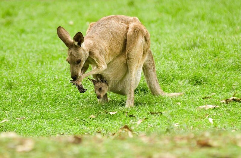 Kangourou et joey