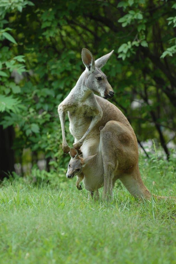 Kangourou et Joey photo stock