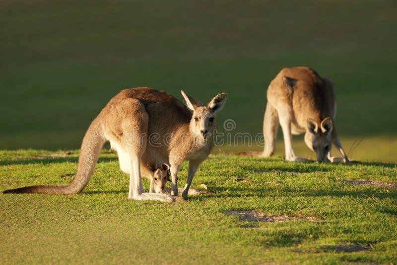 Kangourou et joey photos stock