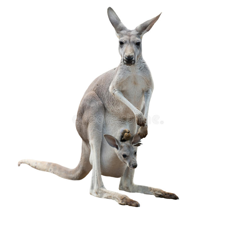 Kangourou gai avec le joey image stock