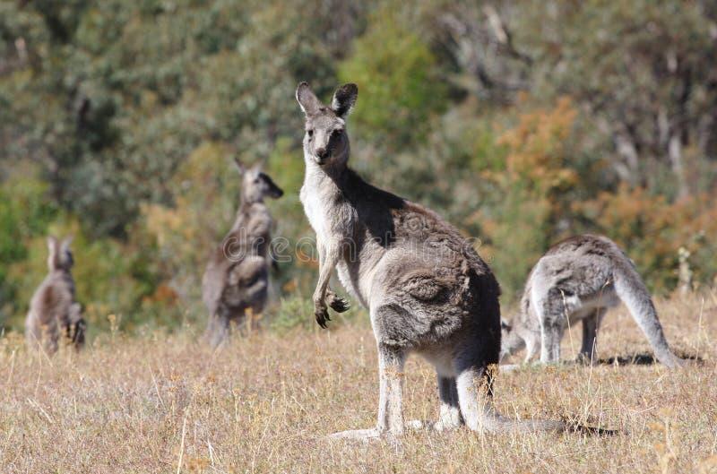 kangourou gris australien photos stock