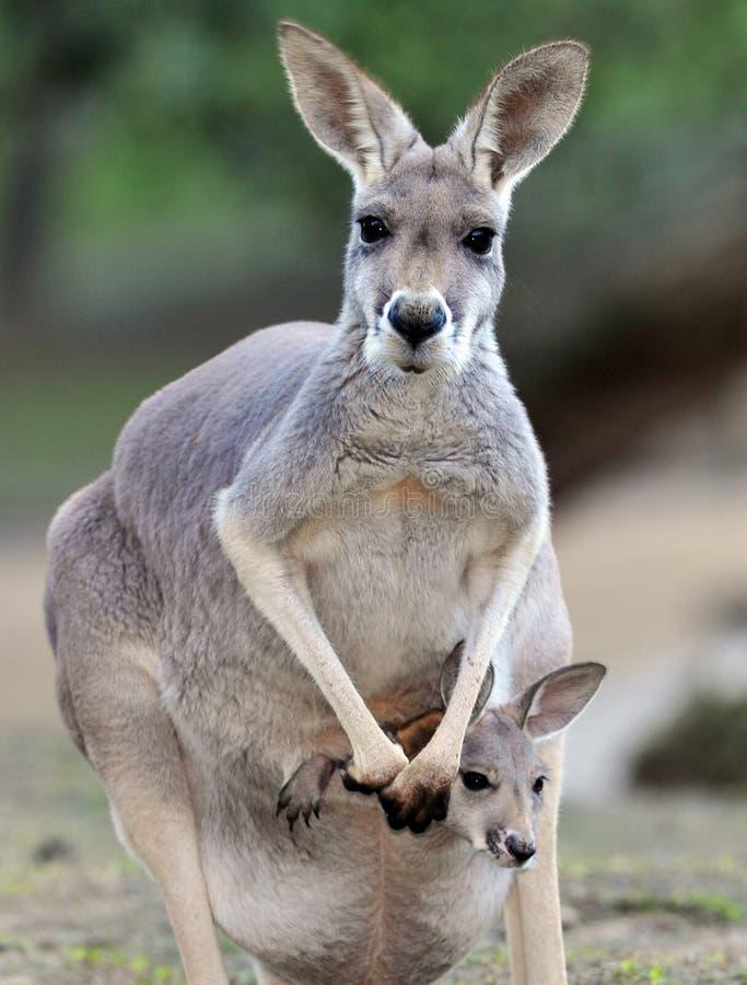 Kangourou gris australien avec la chéri/joey dans la poche photo libre de droits