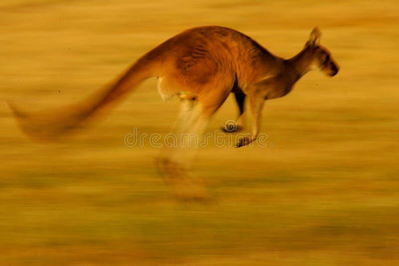 Kangourou gris occidental photo libre de droits