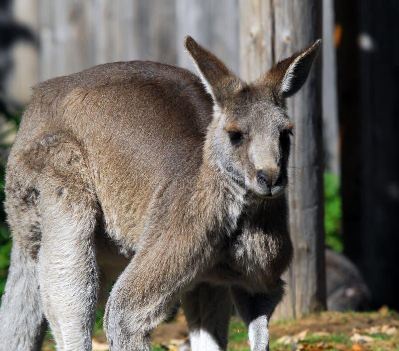 Kangourou gris oriental images stock