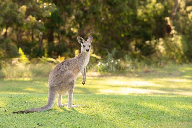 Kangourou mignon images libres de droits