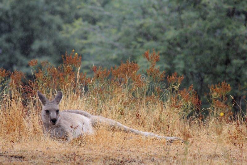 Kangourou près de Bulla de Mt, Victoria, Australie photo stock