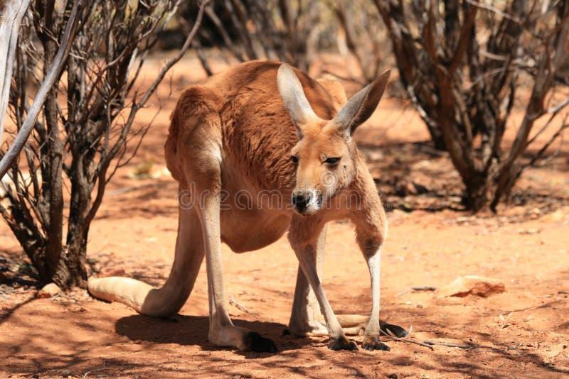 Kangourou rouge photographie stock