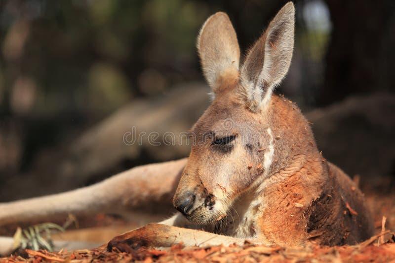 Kangourou rouge au repos image libre de droits