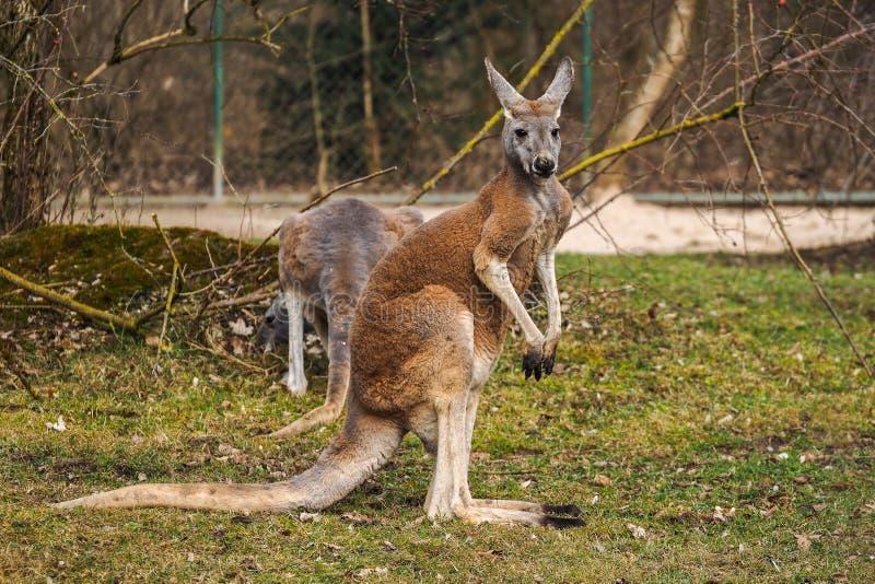 Kangourou rouge, rufus de Macropus dans un zoo allemand image stock