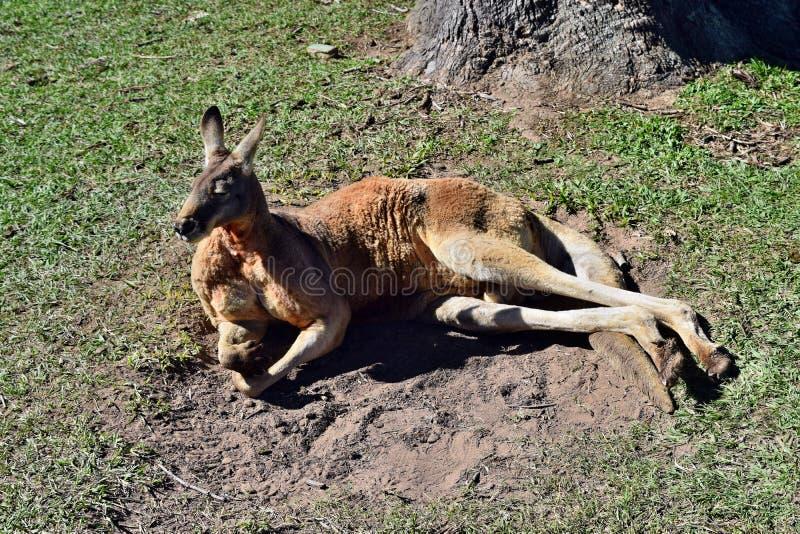 Kangourou rouge sauvage se reposant sur l'herbe en parc image libre de droits