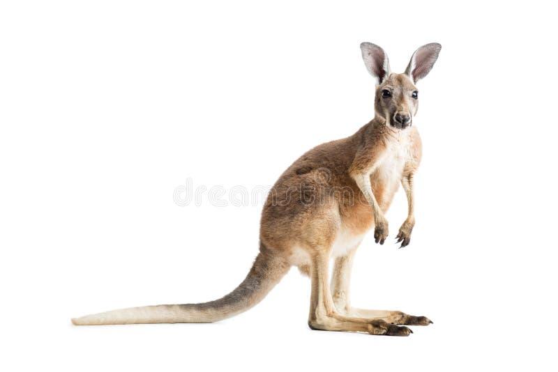 Kangourou rouge sur le blanc photos libres de droits