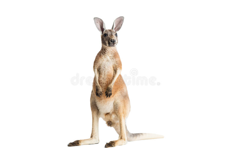 Kangourou rouge sur le blanc images libres de droits