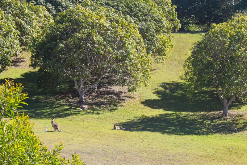 Kangourou sauvage dans l'Australie en verre du Queensland de montagnes de verger photographie stock libre de droits