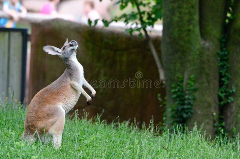 Kangourou se reposant image stock