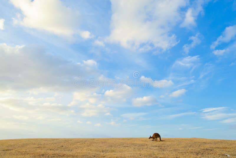 Kangourou sous le ciel bleu images libres de droits