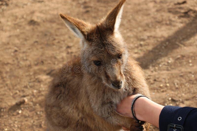 Kangourou tasmanien tenant la main photographie stock